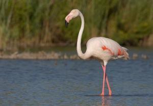 Почему фламинго розовые